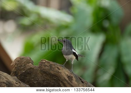 Bird (pied Fantail) On A Tree