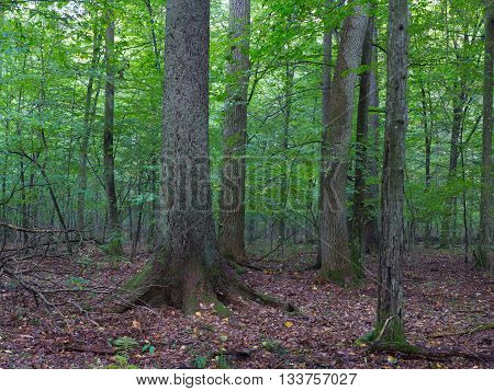 Old hornbeam moss wrapped tree and broken oak in shady rich deciduous stand of Bialowieza Forest in summer evening light,Bialowieza Forest,Poland,Europe