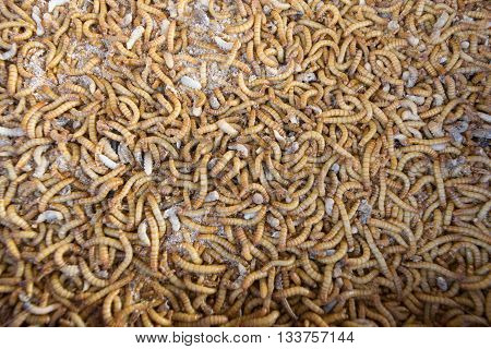 Mealworm In A Farm