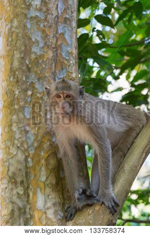 Monkey is a mammal sitting on the tree in Thai forest nature