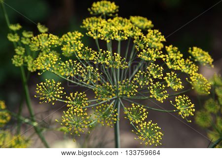 Inflorescence dill on the a green background.
