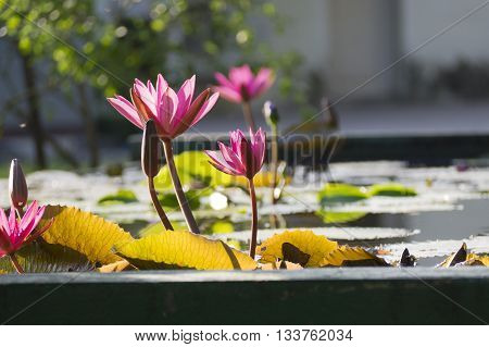 Beautiful pink lotus flowers Pink Water Lily reflection with surface of water in a Pond