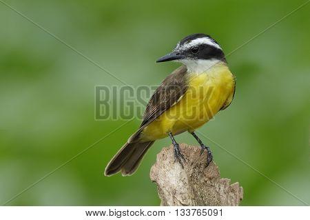 Lesser Kiskadee Perched On A Stump , Panama