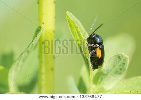 Cryptocephalus moraei beetle on foodplant. A small orange and black leaf beetle found on St. John's-wort (Hypericum species)