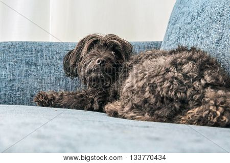 Havanese Dog Lying On A Blue Couch
