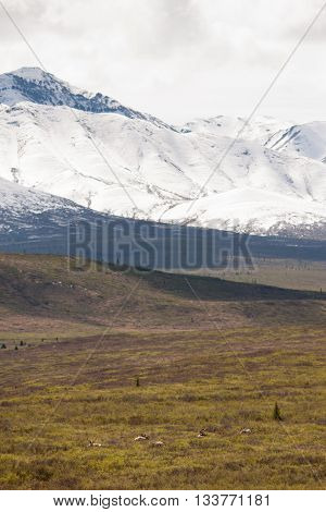 Wild caribou sit beneath mountains in Denali National Park