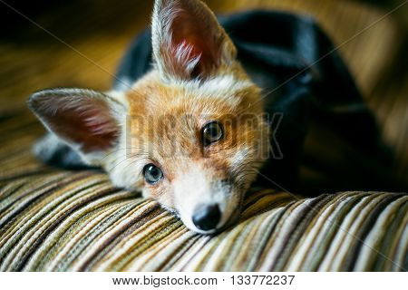 little fox wrapped in a scarf. 3 months the little fox. Little fox domestication
