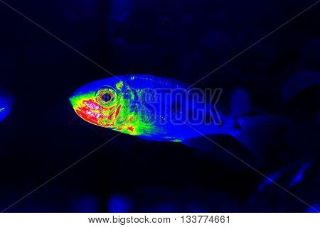 Infrared thermovision underwater image of the fish from the lake Tanganyika showing body surface color temperature