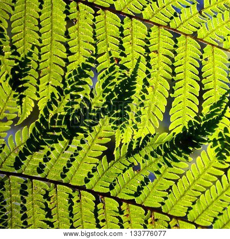 Bright green Australian tree fern (Dicksonia) leaves (fronds) backlit by sunlight