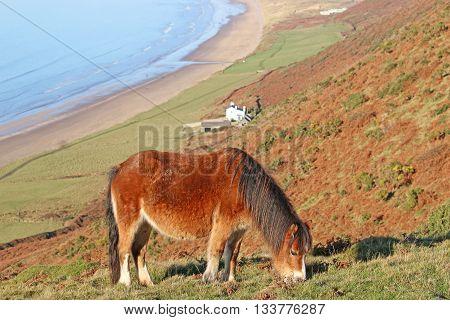 Wild pony grazing above Rhossili beach, Wales
