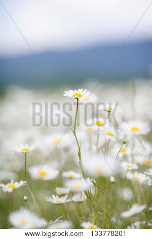 Beautiful flowers field white daisies with bright yellow middle on mountain meadow, long green stems, blue sky and gray-blue outline of a mountain range-a vast field of white wild flowers