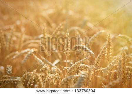 Golden wheat fields - rich harvest is closer and closer