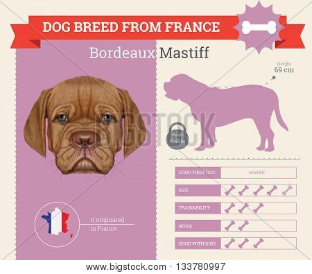 Bordeaux Mastiff Dog breed vector infographics. This dog breed from France