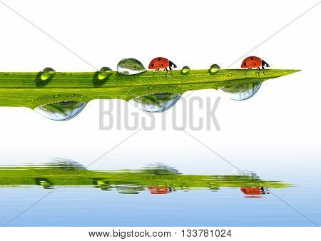 Green grass with dew drops and ladybugs isolated on white background.