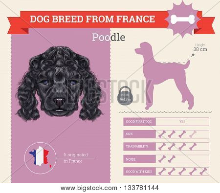 Poodle Dog breed vector infographics. This dog breed from France