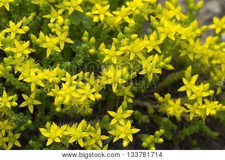 Ornamental moss shoots close-up yellow sedum stonecrop crassula