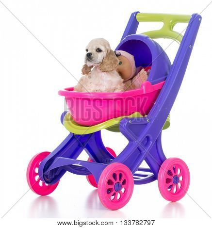 american cocker spaniel puppy in a stroller on white background