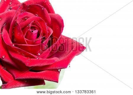 Close Up Red Rose With Water Drop On White Backgroung Design For Signboard, Poster, Notice Board
