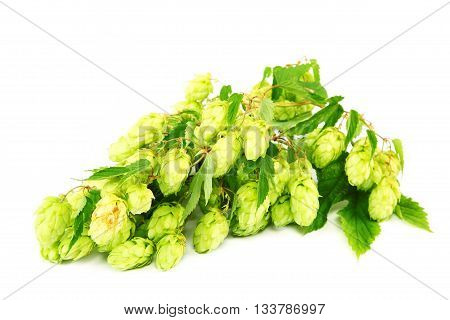 Hops isolated on the a  white background.