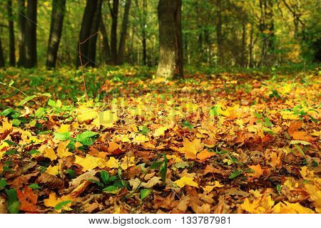 Bright colorful leaves in a  autumn forest.