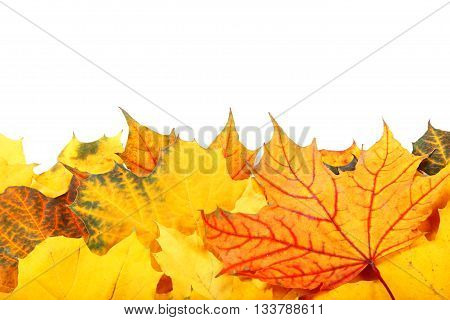 Autumn yellow and red leaves isolated on white background.