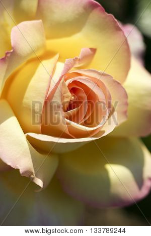 Yellow and beige rose macro close up