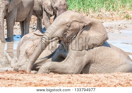 An African Elephant Loxodonta africana enjoying a bath in a muddy dam