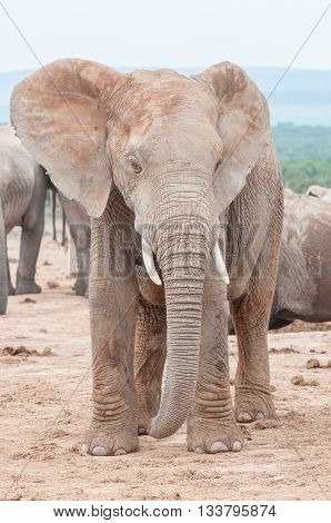 A young adult female African Elephant Loxodonta africana