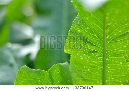Horseradish (Armoracia rusticana) leaves macro in the summer garden.