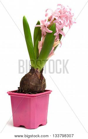 pink flower hyacinth in a pot isolated on white background