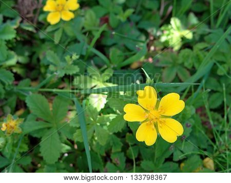 yellow buttercups growing on a green meadow among the grass
