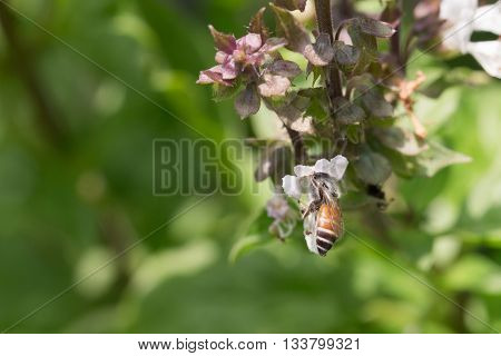 Honey bee collects Basil flower nectar. Honey bee collects Basil flower