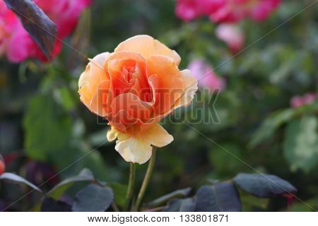 This is an image of a orange rose taken very late in the afternoon in Carmel, California, U.S.A.