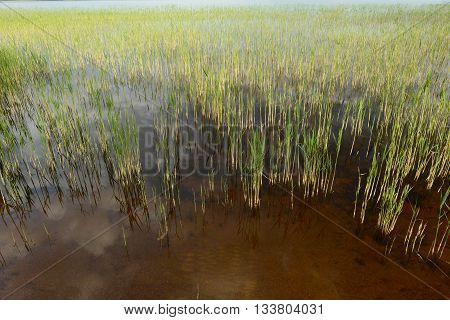 Lake shoreline reeds in early morning summer