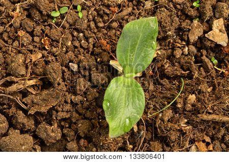 Seedling shoot vegetable marrow culture in summer