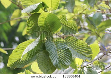 Kratom (mitragyna Speciosa) Mitragynine. Drugs And Narcotics