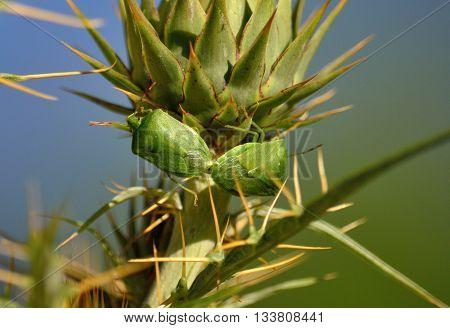 Couple of small green bugs in mating ritual on flower head of wild artichoke before flowering, Nezara viridula