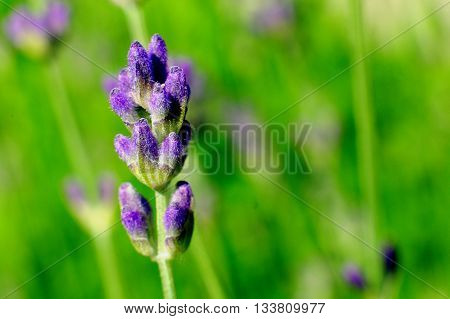 Macro of lavender on green background plants cosmetics beauty
