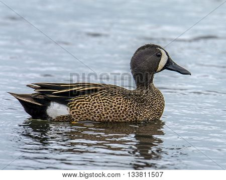 A drake Blue-winged Teal swims casually across a small Wisconsin pond.