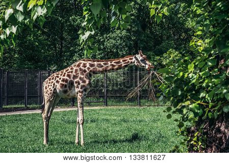 Warsaw Poland - May 12 2015. Rothschild's giraffe in Warsaw Zoological Garden