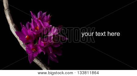 The Dendrobium Bracteosum orchid on black background.