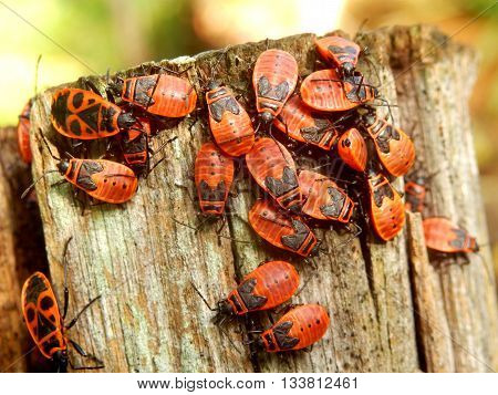 A group of Firebugs (Pyrrhocoris apterus) aka Gendarmes on a fence post