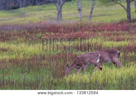 Two White Tailed Deer Feed on Grass in Brushy Meadow