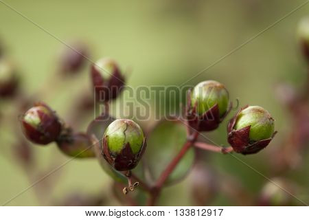 Green and Burgundy Crepe Myrtle Seed Pods