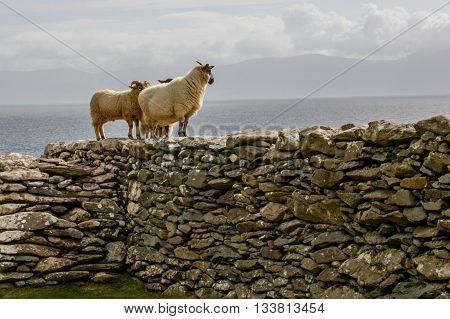 Black face Irish sheep looking at the Irish Sea.