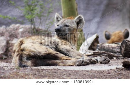 A sleepy hyena Family Hyaenidae is roused from its nap