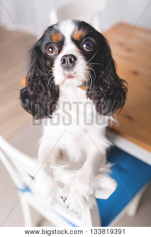 portrait of cute dog sitting on the chair and begging