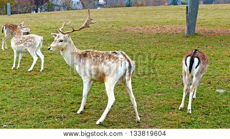 Fallow deer in an animal enclosure in Ore Mountains in Germany, a young fallow buck and three female animals in summer coat
