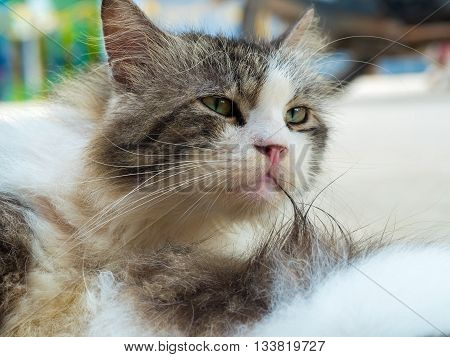 lovely cat on blur background selective focus persian cross breed with domestic cat