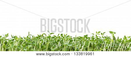 fresh watercress sprouts isolated on white background